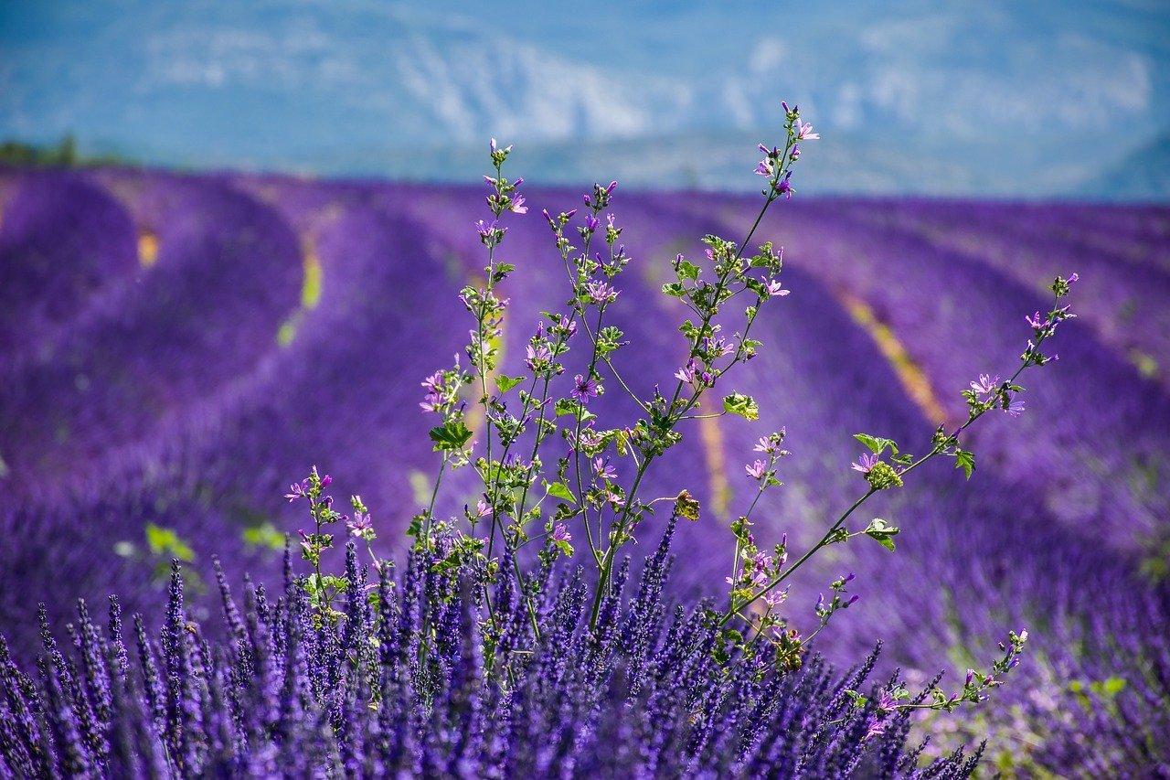 Wie schnell wächst Lavendel?