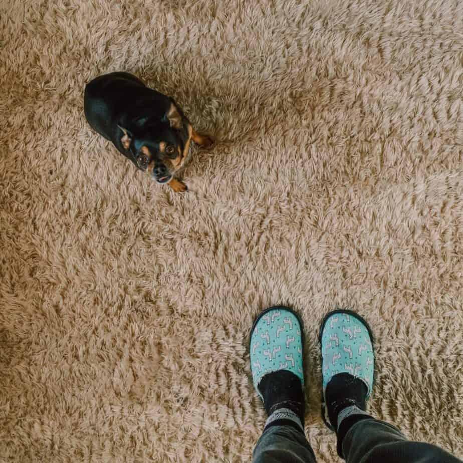 Hund pinkelt auf den Teppich - wie reinigen?