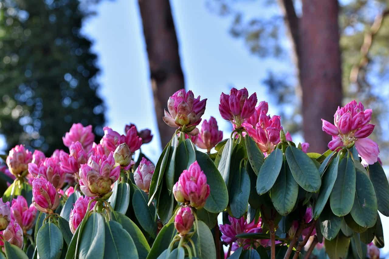 Wie schnell wächst Rhododendron?